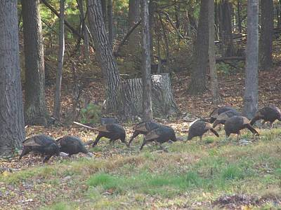 Photograph - Hungry Turkeys by Lila Mattison