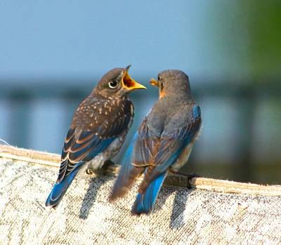Photograph - Hungry Young Bluebird by Jeanne Kay Juhos