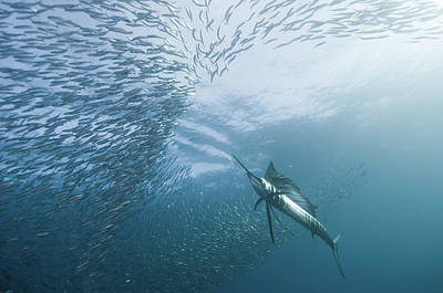 Sailfish Photograph - Hunter And The Hunted by Alexander Safonov