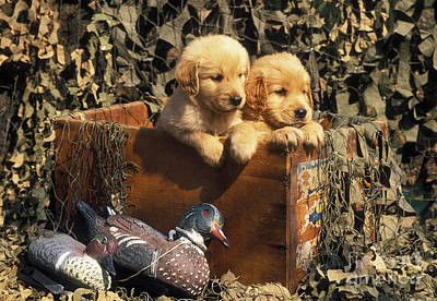 Golden Retriever Puppies Photograph - Hunting Buddies - Fs000130 by Daniel Dempster