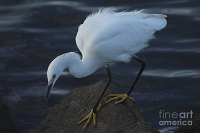 Photograph - Hunting Egret by Morgan Wright