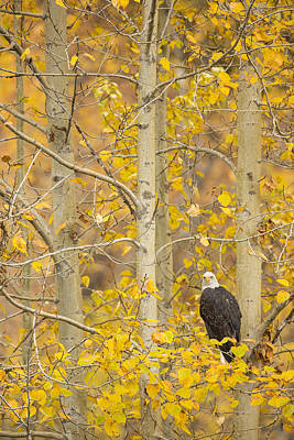 Eagle Photograph - Hunting From An Aspen by Tim Grams