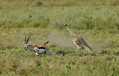 Cheetah Photograph - Hunting by Giuseppe D\\\'amico