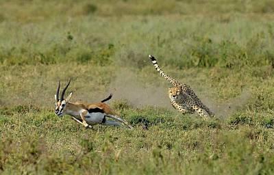 Cheetah Wall Art - Photograph - Hunting by Giuseppe D\\\'amico