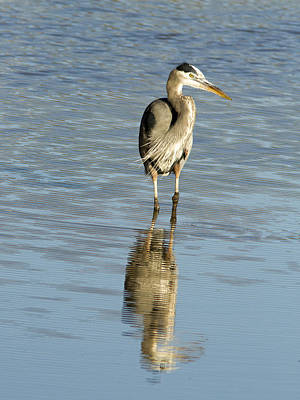 Photograph - Hunting Great Blue Heron by Jean Noren