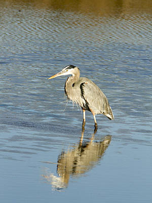 Photograph - Hunting Heron by Jean Noren