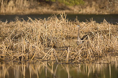 Photograph - Hunting In The Reeds by Theo OConnor