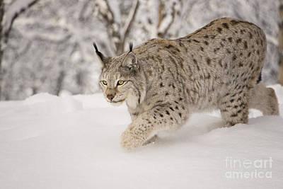 Hunting Lynx Art Print