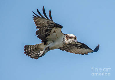Photograph - Hunting Osprey by Cheryl Baxter