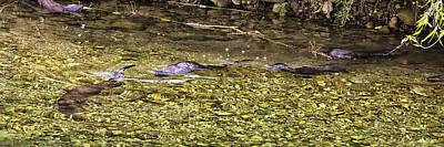 Photograph - Hunting Otter Buffalo National River by Michael Dougherty