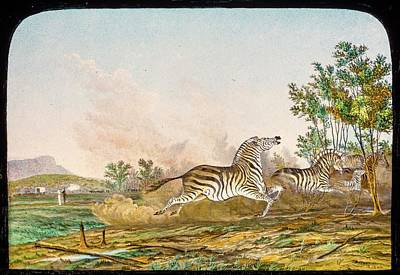 1862 Photograph - Hunting Quagga by Gustoimages/science Photo Libbrary