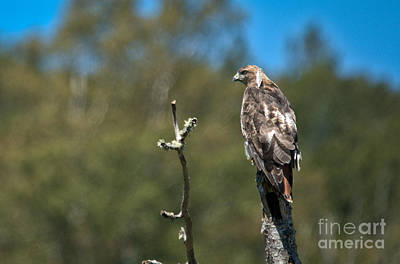 Photograph - Hunting Red Tail by Cheryl Baxter