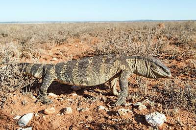 Monitor Photograph - Hunting Rock Monitor Lizard by Peter Chadwick