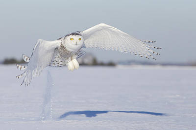 Snowy Night Photograph - Hunting Snowy Owl by Mircea Costina Photography