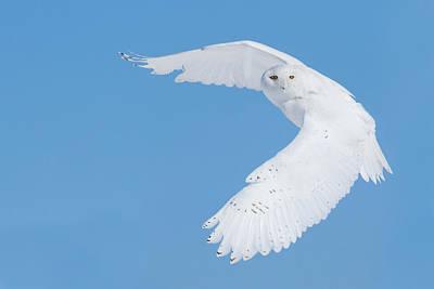 Snowy Owls Wall Art - Photograph - Hunting Snowy Owl by Mircea Costina