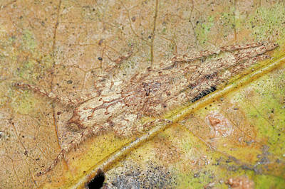Huntsman Spider Photograph - Huntsman Spider Camouflaged Against Leaf by Melvyn Yeo