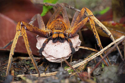 Huntsman Spider Photograph - Huntsman Spider Carrying Egg Sac by Melvyn Yeo
