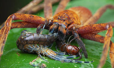 Centipede Photograph - Huntsman Spider Feeding On Centipede by Melvyn Yeo