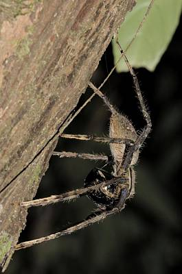 Huntsman Spider Photograph - Huntsman Spider Heteropoda Sp by Fletcher & Baylis