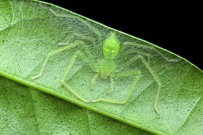 Huntsman Spider Photograph - Huntsman Spider In Nest by Melvyn Yeo