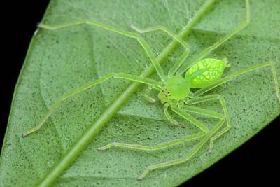 Huntsman Spider Photograph - Huntsman Spider On Leaf by Melvyn Yeo