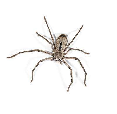 Huntsman Spider Photograph - Huntsman Spider by Science Photo Library