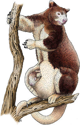 Photograph - Huon Tree Kangaroo by Roger Hall