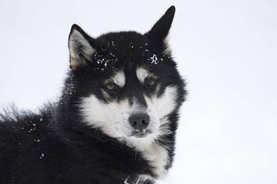 Husky Dog Breading Centre Art Print