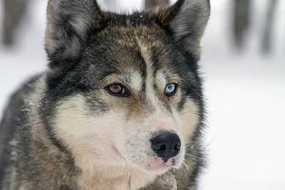 Huskies Photograph - Husky Dog Breading Centre by Photostock-israel