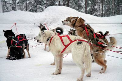 Husky Dogs Pull A Sledge Art Print by Photostock-israel