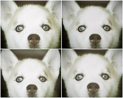Husky Face Print by Susan Stone