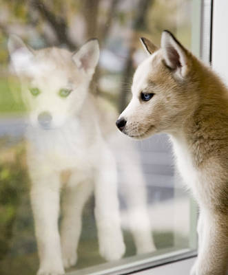 Digital Art - Husky In The Window by Susan Stone