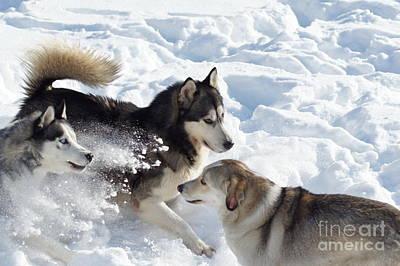 Husky Original