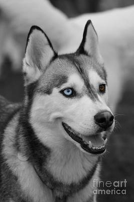 Print featuring the photograph Husky Portrait by Vicki Spindler