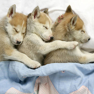Husky Puppies Asleep In Bed Art Print by John Daniels