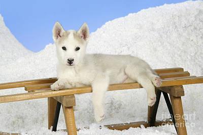 Husky Puppy Dog Art Print by John Daniels