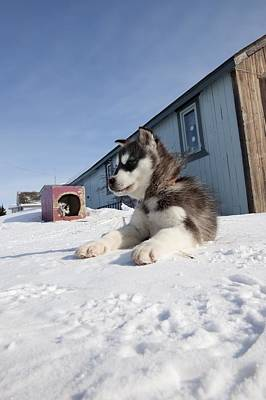 Husky Sled Dog Puppy Art Print by Science Photo Library
