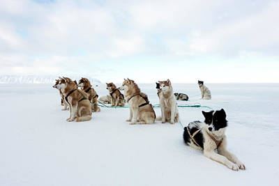Husky Photograph - Husky Sled Dogs by Louise Murray