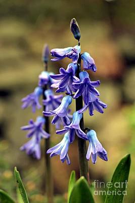 Photograph - Hyacinth by Chris Anderson