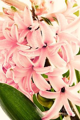 Hyacinth Flower Art Print
