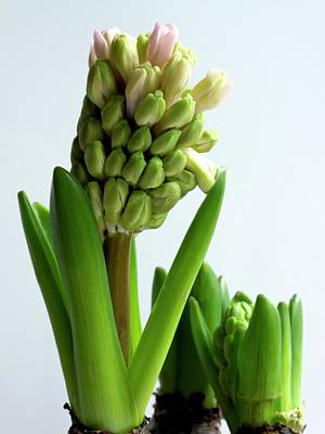 Hyacinth Flower Stems Art Print by Ian Gowland