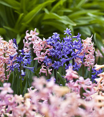 Hyacinths Wall Art - Photograph - Hyacinth Garden by Frank Tschakert