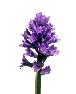 Hyacinth (hyacinthus Sp.) Art Print by Derek Lomas / Science Photo Library