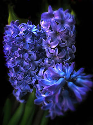 Hyacinths Wall Art - Photograph - Hyacinth by Jessica Jenney