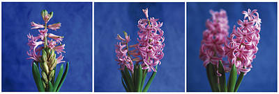 Art Print featuring the photograph Hyacinth by Lana Enderle