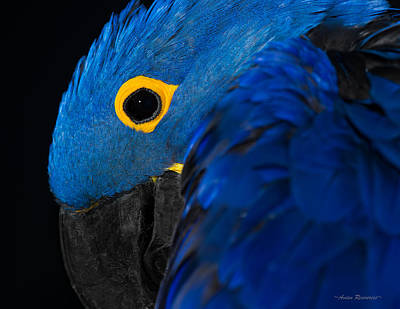Photograph - Hyacinth Macaw 1 by Avian Resources
