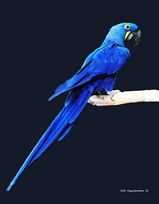 Photograph - Hyacinth Macaw Eight by DiDi Higginbotham