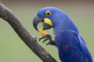 Hyacinth Macaw Feeding On Palm Nut Art Print