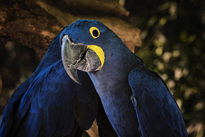 Hyacinth Macaw Original by Joan Carroll
