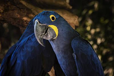 Sheep - Hyacinth Macaw by Joan Carroll